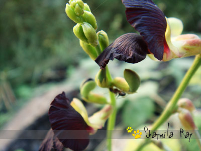 Unsual Beans Flowers...