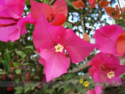 How to Care Bougainvillea