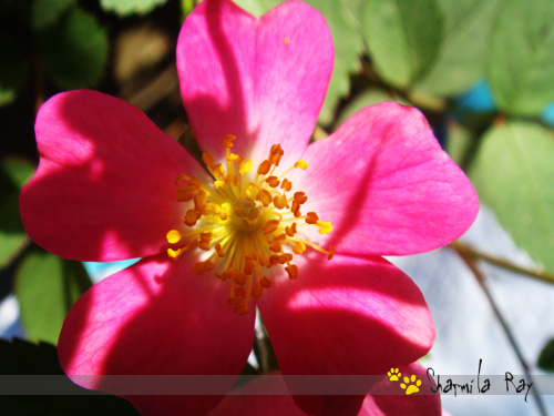 "Tips to care ""Rose Plant"""