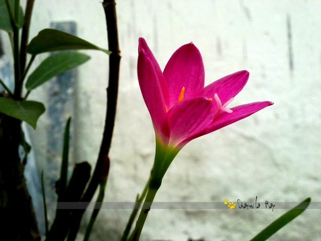 Life .... and rain lilies - Zephyranthes !!